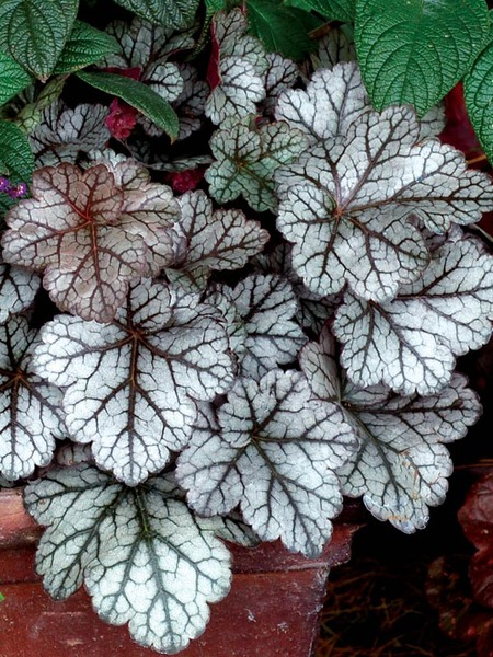 19 Easy to Grow Coral Bells for Colorful Gardens Glitter Heuchera #Heuchera #CoralBells #Shade #ShadeGarden #Garden #Gardening #Landscape