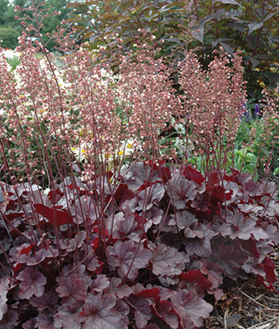 19 Easy to Grow Coral Bells for Colorful Gardens Grape Expectations Heuchera #Heuchera #CoralBells #Shade #ShadeGarden #Garden #Gardening #Landscape