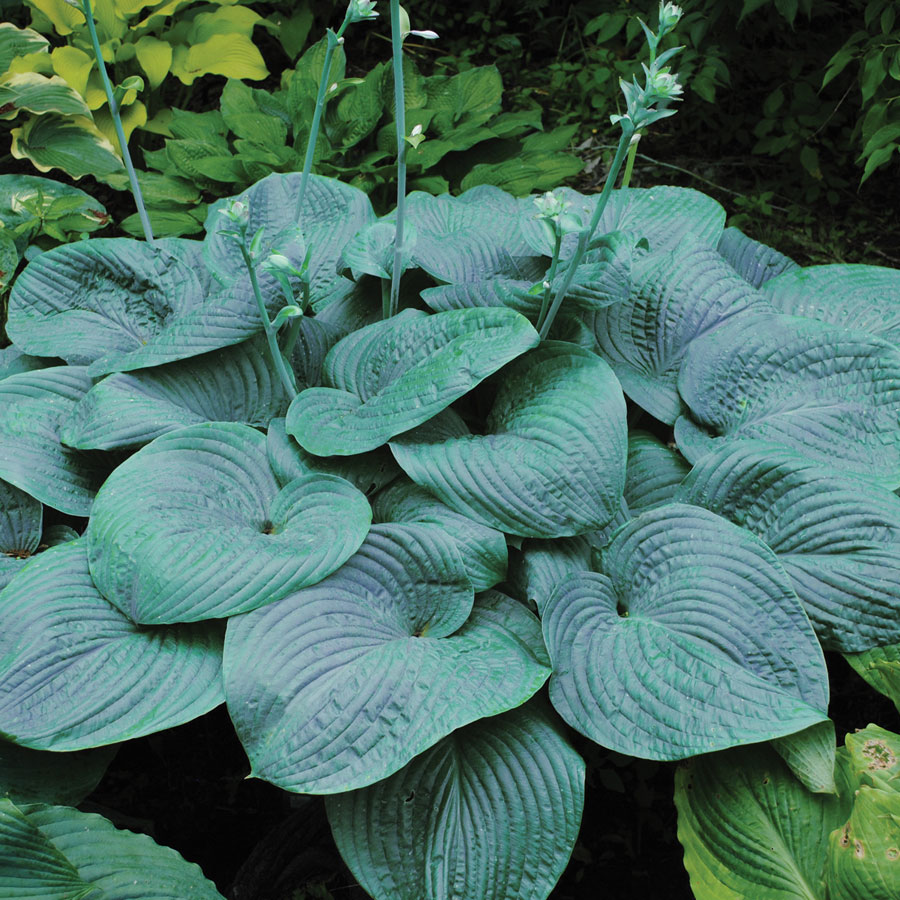 20 Best Hostas for Shade Garden Areas Humpback Whale Hosta #Hostas #ShadeLoving #Garden #ShadeGarden #Gardening #Landscape