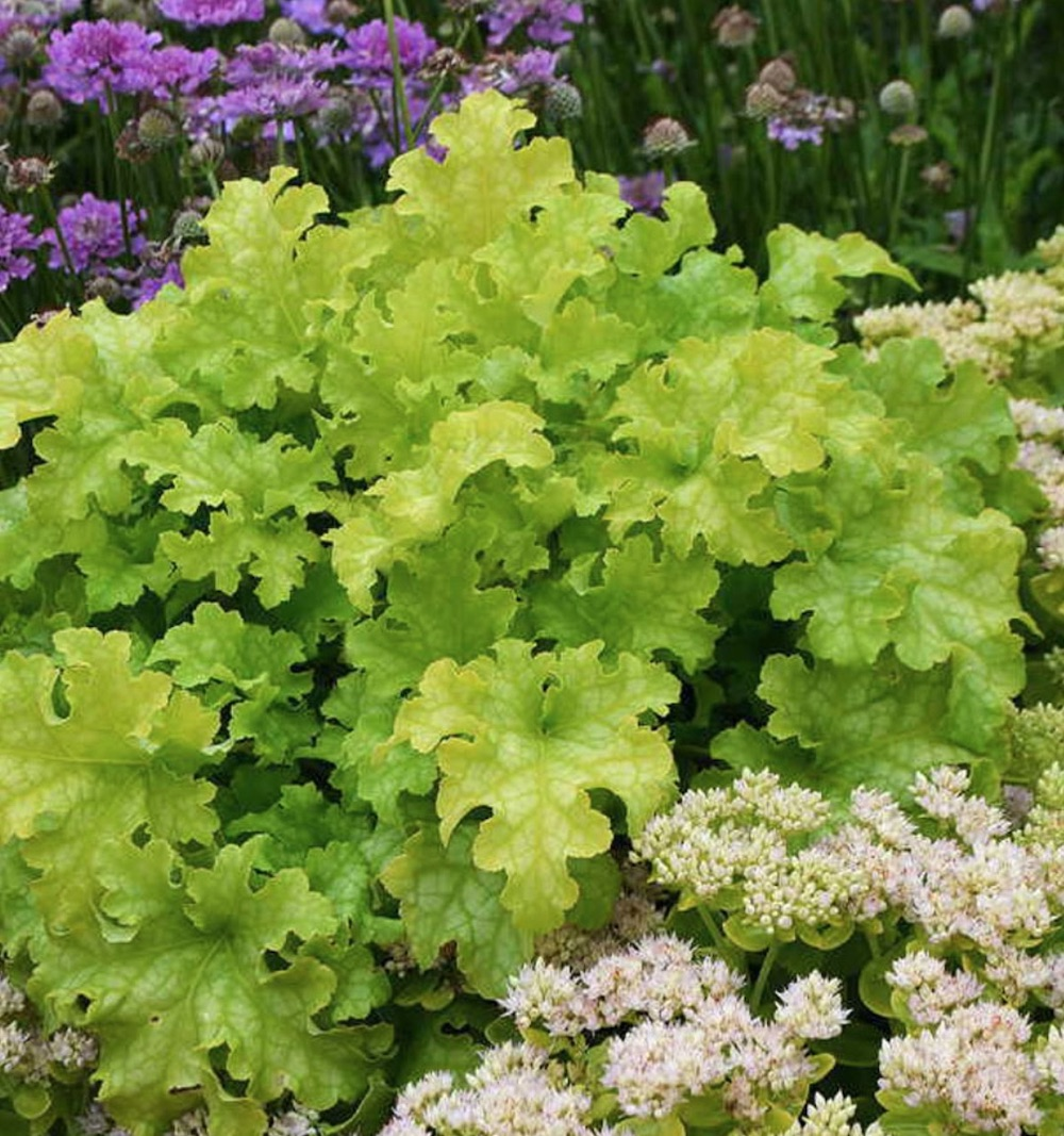 19 Easy to Grow Coral Bells for Colorful Gardens Lime Ruffles Heuchera #Heuchera #CoralBells #Shade #ShadeGarden #Garden #Gardening #Landscape