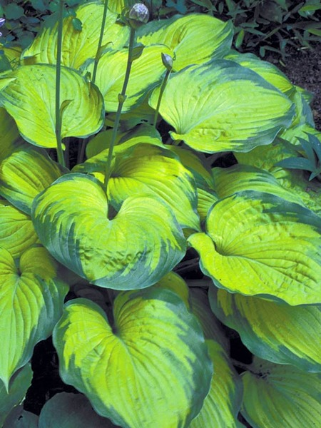 20 Best Hostas for Shade Garden Areas Old Glory Hosta #Hostas #ShadeLoving #Garden #ShadeGarden #Gardening #Landscape