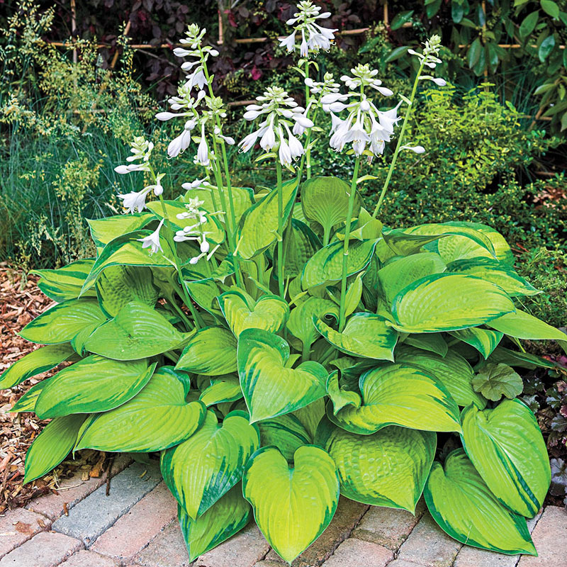 20 Best Hostas for Shade Garden Areas Paradigm Hosta #Hostas #ShadeLoving #Garden #ShadeGarden #Gardening #Landscape