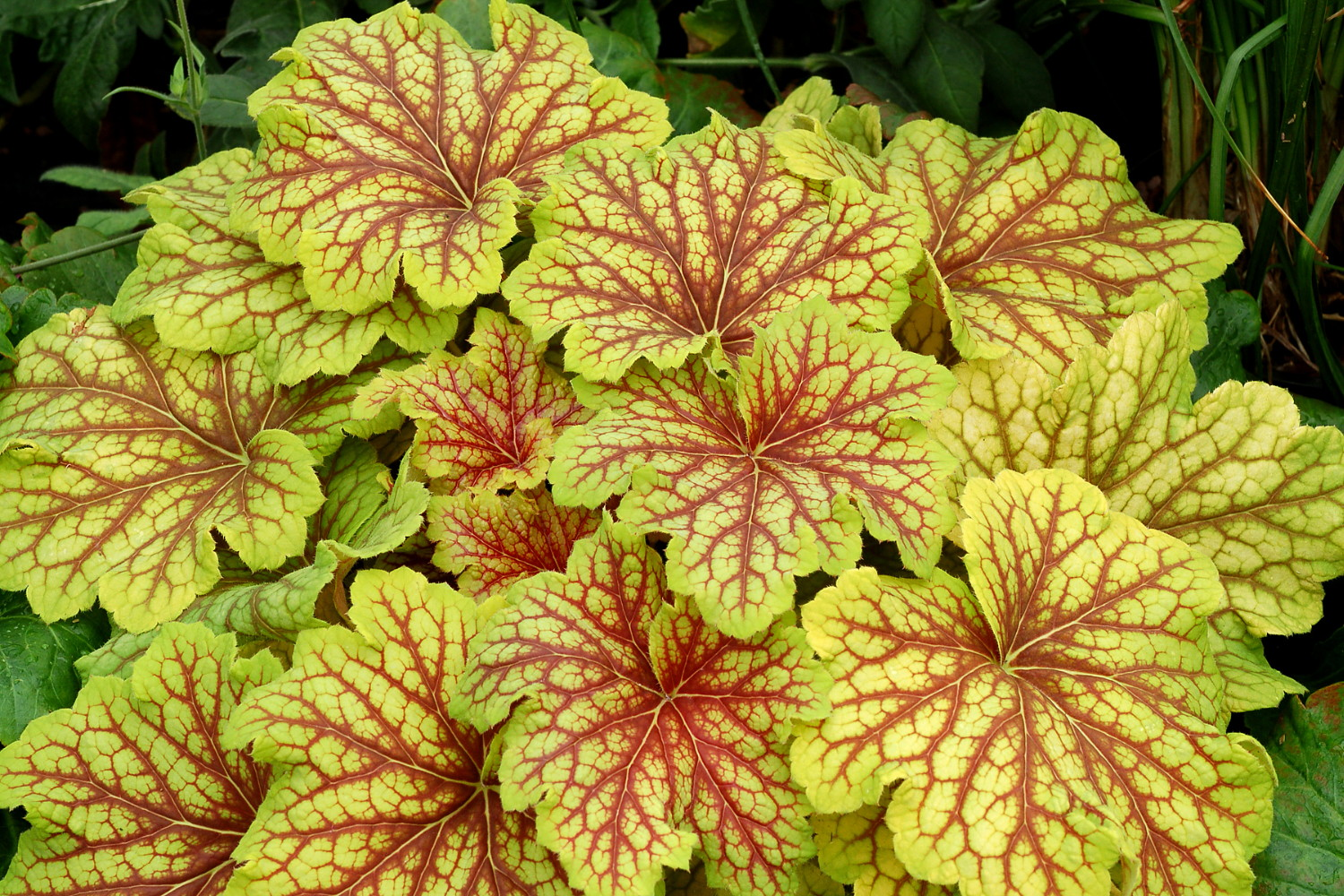 19 Easy to Grow Coral Bells for Colorful Gardens Red Lightening Coral Bells #Heuchera #CoralBells #Shade #ShadeGarden #Garden #Gardening #Landscape