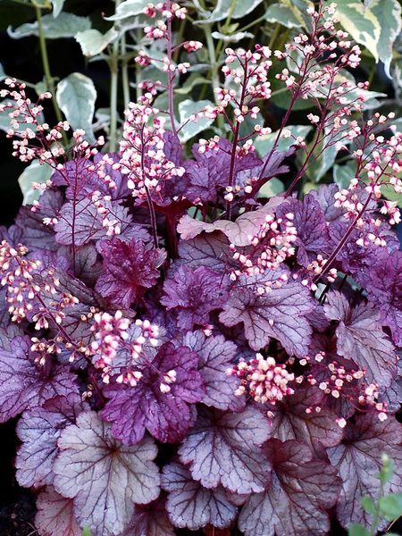 19 Easy to Grow Coral Bells for Colorful Gardens Shanghai Heuchera #Heuchera #CoralBells #Shade #ShadeGarden #Garden #Gardening #Landscape