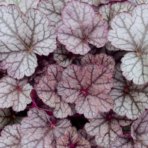 19 Easy to Grow Coral Bells for Colorful Gardens Sugar Frosting Coral Bells #Heuchera #CoralBells #Shade #ShadeGarden #Garden #Gardening #Landscape
