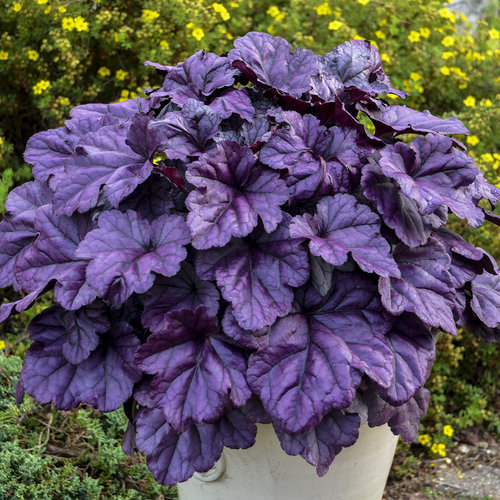 19 Easy to Grow Coral Bells for Colorful Gardens Wildberry Coral Bells #Heuchera #CoralBells #Shade #ShadeGarden #Garden #Gardening #Landscape