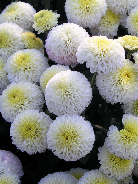 18 Hardy Chrysanthemums to Plant Now for Fabulous Fall Color Baby Tears Chrysanthemum #Mums #FallColor #FallMums #FallDecor #Garden #Gardening #Landscape