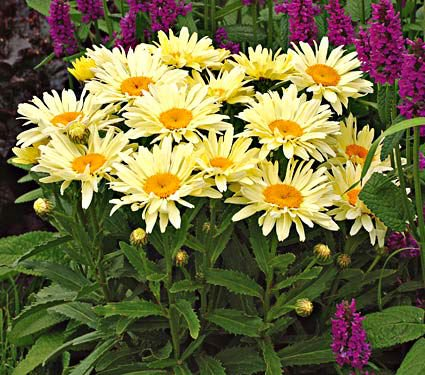 18 Hardy Chrysanthemums to Plant Now for Fabulous Fall Color Banana Cream Leucanthemum #Mums #FallColor #FallMums #FallDecor #Garden #Gardening #Landscape