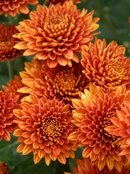 18 Hardy Chrysanthemums to Plant Now for Fabulous Fall Color Coppersmith Chrysanthemum #Mums #FallColor #FallMums #FallDecor #Garden #Gardening #Landscape