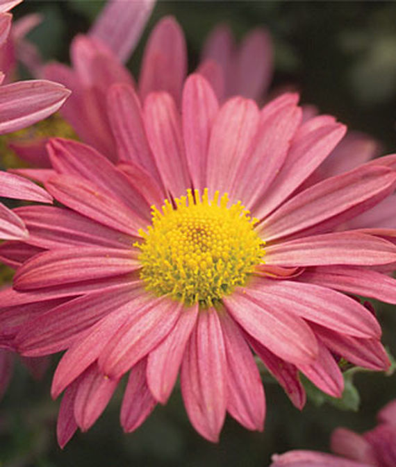 18 Hardy Chrysanthemums to Plant Now for Fabulous Fall Color Daisy Coral Mammoth Garden Mum #Mums #FallColor #FallMums #FallDecor #Garden #Gardening #Landscape