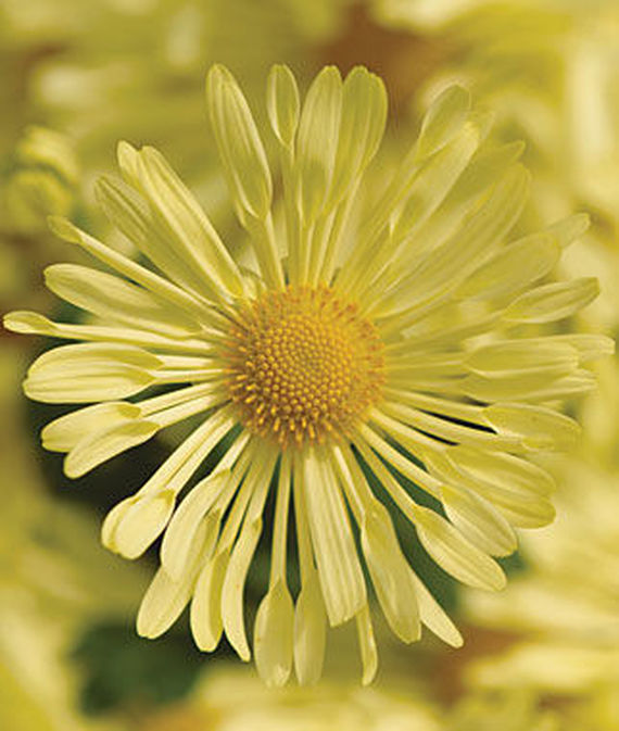 18 Hardy Chrysanthemums to Plant Now for Fabulous Fall Color Daisy Quill Yellow Mammoth Garden Mum #Mums #FallColor #FallMums #FallDecor #Garden #Gardening #Landscape