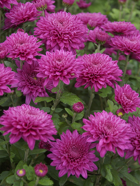 18 Hardy Chrysanthemums to Plant Now for Fabulous Fall Color Debutante Chrysanthemum #Mums #FallColor #FallMums #FallDecor #Garden #Gardening #Landscape