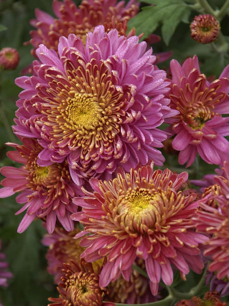 18 Hardy Chrysanthemums to Plant Now for Fabulous Fall Color Fall Charm Chrysanthemum #Mums #FallColor #FallMums #FallDecor #Garden #Gardening #Landscape