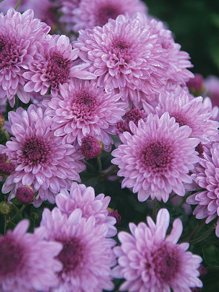 18 Hardy Chrysanthemums to Plant Now for Fabulous Fall Color Grandchild Chrysanthemum #Mums #FallColor #FallMums #FallDecor #Garden #Gardening #Landscape