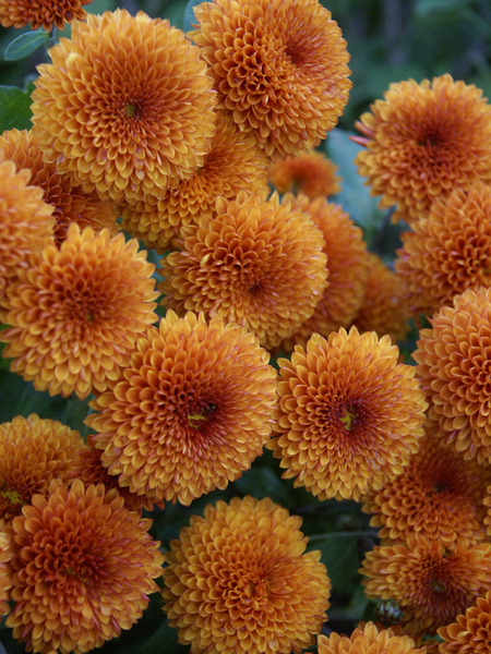 18 Hardy Chrysanthemums to Plant Now for Fabulous Fall Color Honeycomb Chrysanthemum #Mums #FallColor #FallMums #FallDecor #Garden #Gardening #Landscape