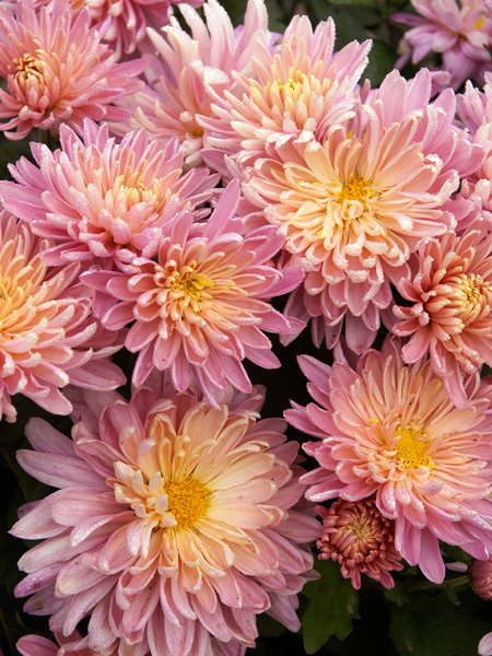 18 Hardy Chrysanthemums to Plant Now for Fabulous Fall Color Jessica Louise Chrysanthemum #Mums #FallColor #FallMums #FallDecor #Garden #Gardening #Landscape