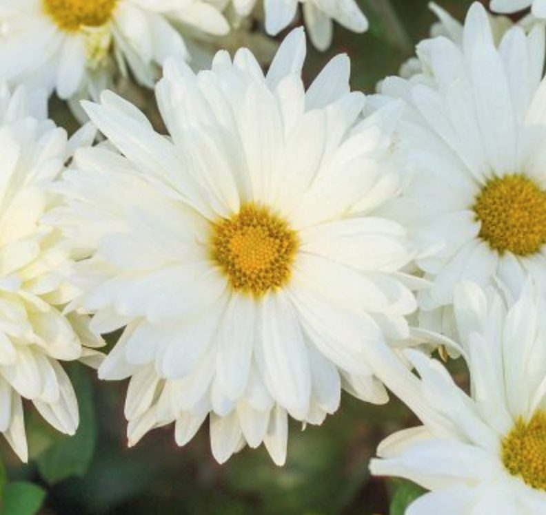 18 Hardy Chrysanthemums to Plant Now for Fabulous Fall Color Mammoth White Daisy Chrysanthemum #Mums #FallColor #FallMums #FallDecor #Garden #Gardening #Landscape