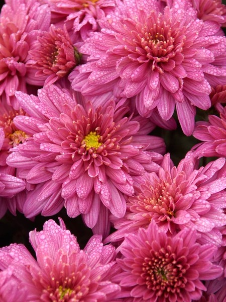 18 Hardy Chrysanthemums to Plant Now for Fabulous Fall Color Pink Crest Chrysanthemum #Mums #FallColor #FallMums #FallDecor #Garden #Gardening #Landscape