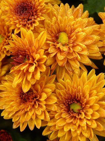 18 Hardy Chrysanthemums to Plant Now for Fabulous Fall Color Sienna Bronze Chrysanthemum #Mums #FallColor #FallMums #FallDecor #Garden #Gardening #Landscape