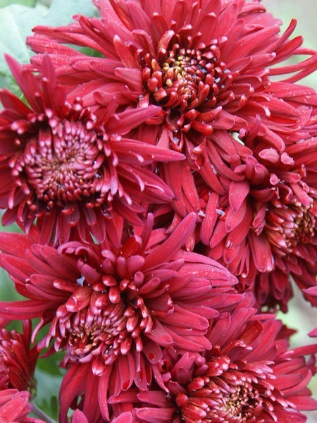 18 Hardy Chrysanthemums to Plant Now for Fabulous Fall Color Volunteer Chrysanthemum #Mums #FallColor #FallMums #FallDecor #Garden #Gardening #Landscape