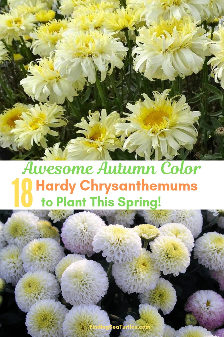 Awesome Autumn Color 18 Hardy Chrysanthemums To Plant This Spring #Mums #FallColor #FallMums #FallDecor #Garden #Gardening #Landscape
