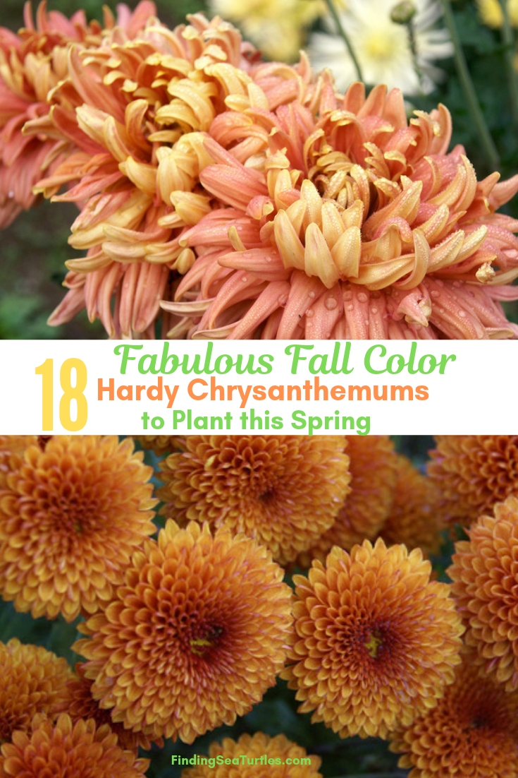 Fabulous Fall Color 18 Hardy Chrysanthemums To Plant This Spring #Mums #FallColor #FallMums #FallDecor #Garden #Gardening #Landscape