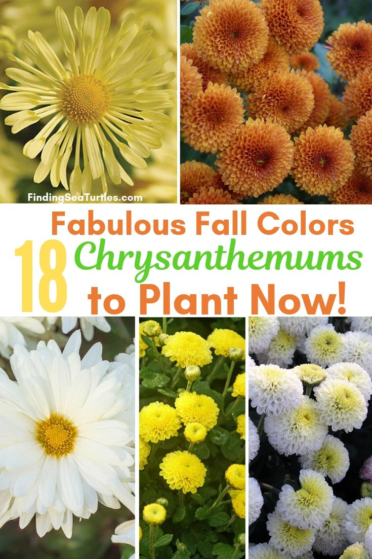 Fabulous Fall Colors 18 Chrysanthemums To Plant Now! #Mums #FallColor #FallMums #FallDecor #Garden #Gardening #Landscape