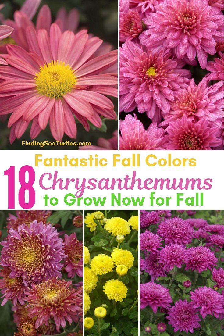 Fantastic Fall Colors 18 Chrysanthemums To Grow Now For Fall #Mums #FallColor #FallMums #FallDecor #Garden #Gardening #Landscape