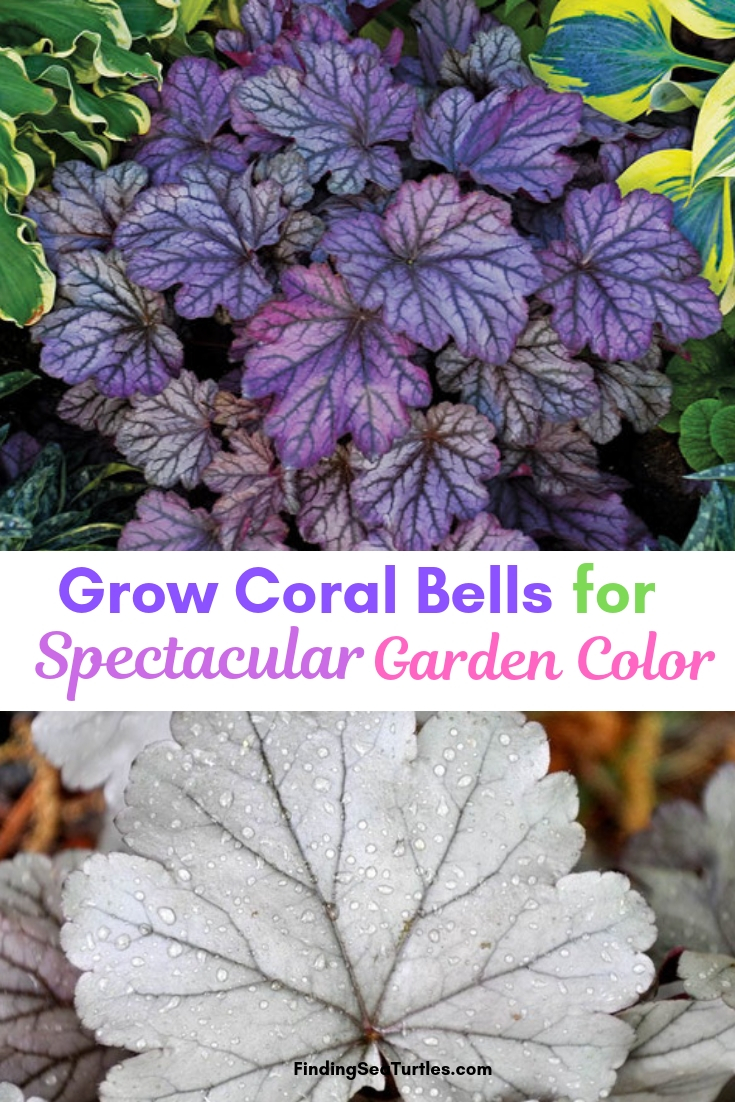 Grow Coral Bells For Spectacular Garden Color #Heuchera #CoralBells #Shade #ShadeGarden #Garden #Gardening #Landscape