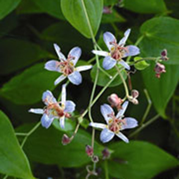 Create a Garden Wonderland with Woodland Plants Amethyst Toad Lily #Garden #Gardening #Landscaping #Woodland #WoodlandGarden #NativePlants #Perennials #GardenPerennials