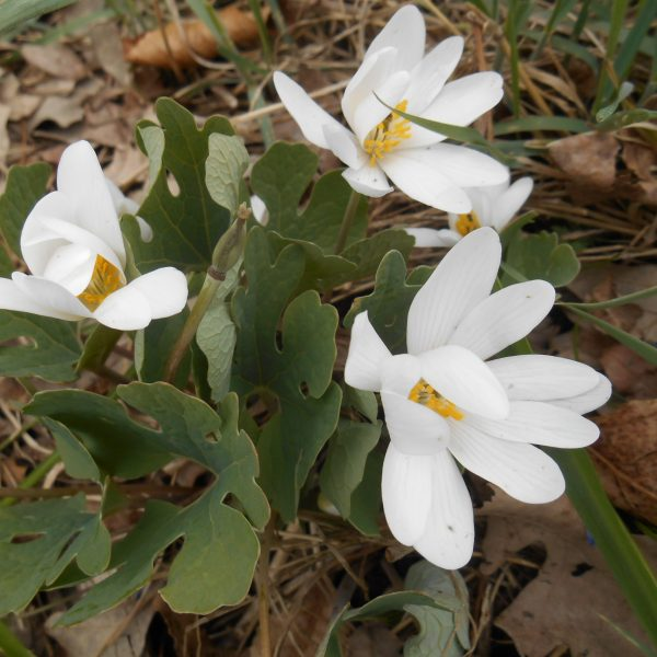 Create a Garden Wonderland with Woodland Plants Bloodroot #Garden #Gardening #Landscaping #Woodland #WoodlandGarden #NativePlants #Perennials #GardenPerennials