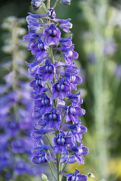 Create a Garden Wonderland with Woodland Plants Blue Larkspur Delphinium #Garden #Gardening #Landscaping #Woodland #WoodlandGarden #NativePlants #Perennials #GardenPerennials