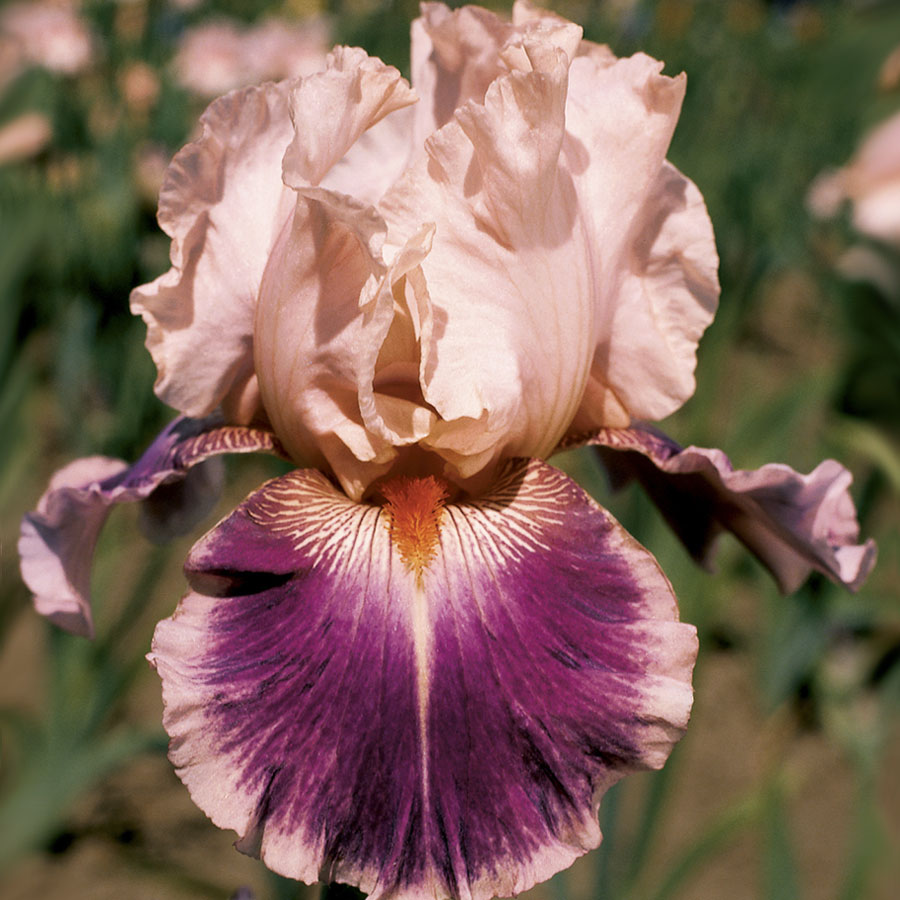 Create a Garden Wonderland with Woodland Plants Cherry Blossom Song Iris #Garden #Gardening #Landscaping #Woodland #WoodlandGarden #NativePlants #Perennials #GardenPerennials