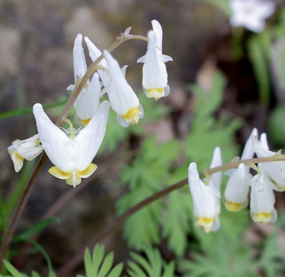 Create a Garden Wonderland with Woodland Plants Dutchmans Breeches #Garden #Gardening #Landscaping #Woodland #WoodlandGarden #NativePlants #Perennials #GardenPerennials