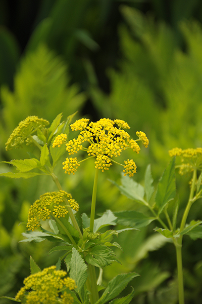 Create a Garden Wonderland with Woodland Plants Golden Alexanders #Garden #Gardening #Landscaping #Woodland #WoodlandGarden #NativePlants #Perennials #GardenPerennials