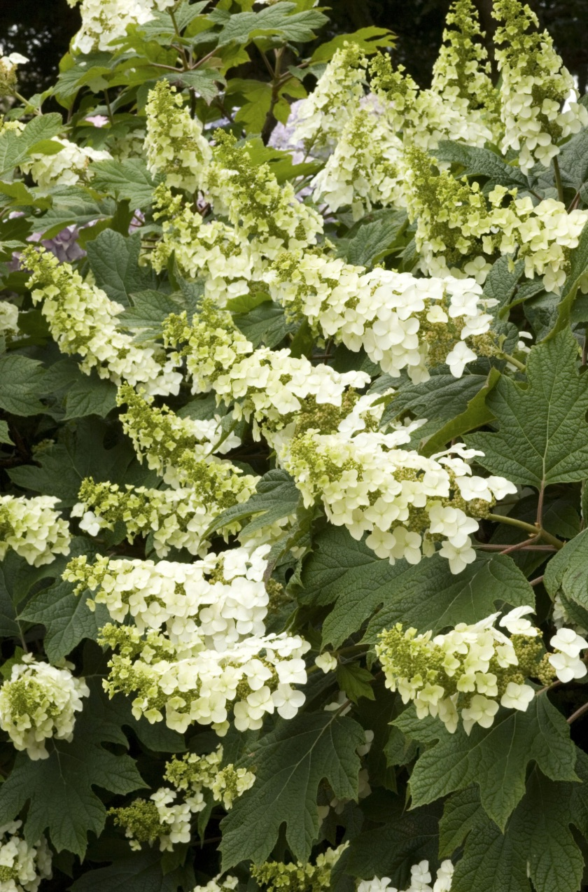 Create a Garden Wonderland with Woodland Plants Snow Queen Oakleaf Hydrangea #Garden #Gardening #Landscaping #Woodland #WoodlandGarden #NativePlants #Perennials #GardenPerennials