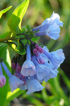 Create a Garden Wonderland with Woodland Plants Virginia Bluebells #Garden #Gardening #Landscaping #Woodland #WoodlandGarden #NativePlants #Perennials #GardenPerennials