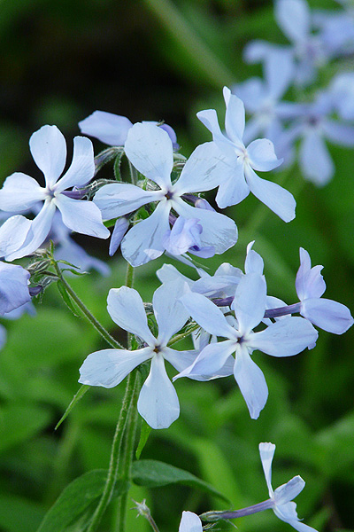 Create a Garden Wonderland with Woodland Plants Wild Blue Phlox #Garden #Gardening #Landscaping #Woodland #WoodlandGarden #NativePlants #Perennials #GardenPerennials