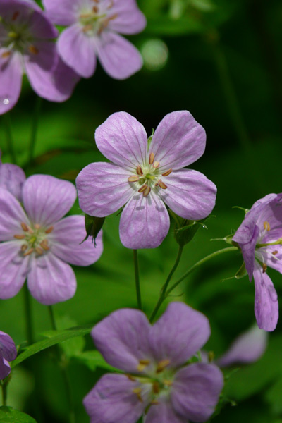 Create a Garden Wonderland with Woodland Plants Wild Geranium #Garden #Gardening #Landscaping #Woodland #WoodlandGarden #NativePlants #Perennials #GardenPerennials