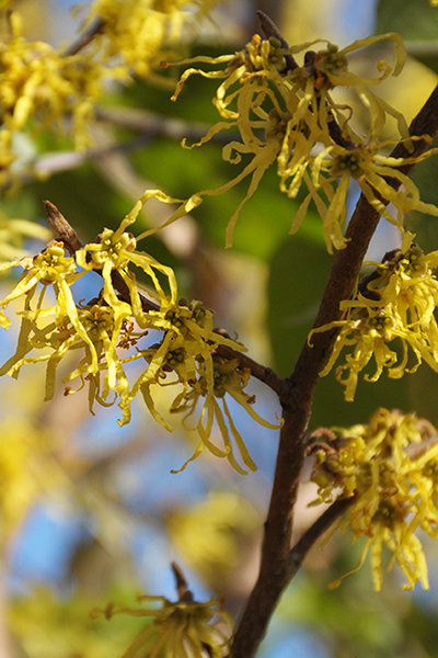 Create a Garden Wonderland with Woodland Plants Witchhazel #Garden #Gardening #Landscaping #Woodland #WoodlandGarden #NativePlants #Perennials #GardenPerennials