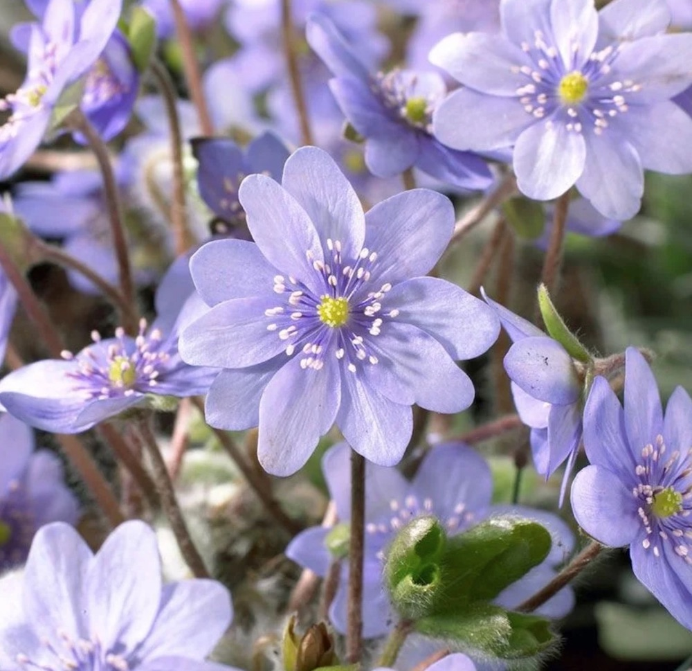 Create a Garden Wonderland with Woodland Plants Hepatica #Garden #Gardening #Landscaping #Woodland #WoodlandGarden #NativePlants #Perennials #GardenPerennials