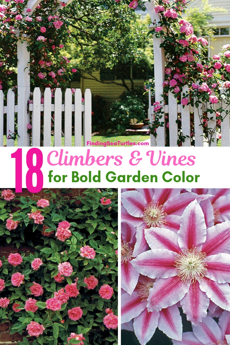 18 Climbers & Vines For Bold Garden Color #Perennials #Garden #Gardening #Vines #Climbers #Landscape #Trellis #Obelisk #GardenArbors