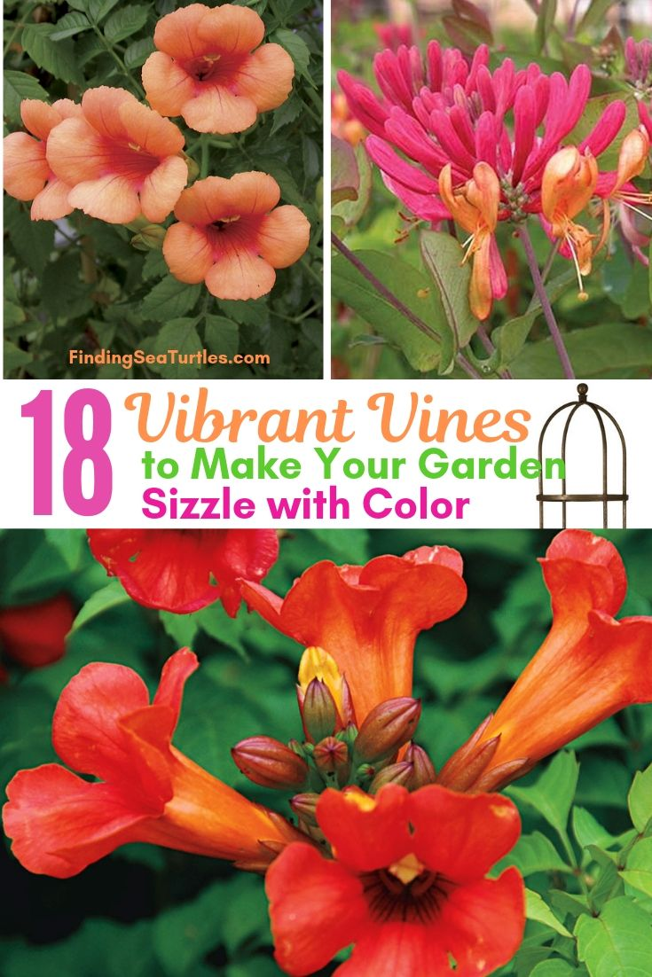 18 Vibrant Vines To Make Your Garden Sizzle With Color #Perennials #Garden #Gardening #Vines #Climbers #Landscape #Trellis #Obelisk #GardenArbor #VerticalGardening