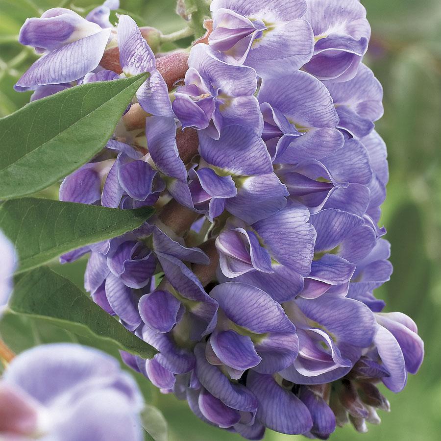 18 Fabulous Flower Vines for Your Arbor, Trellis, or Pergola Amethyst Falls Wisteria #Perennials #Garden #Gardening #Vines #Climbers #Landscape