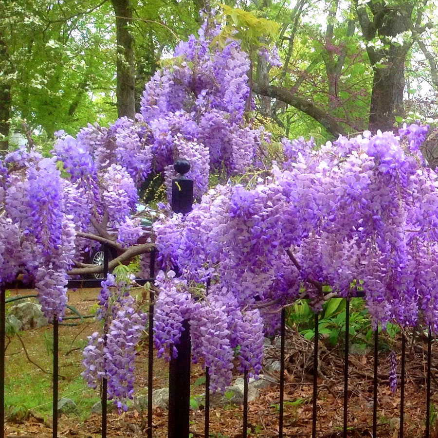 18 Fabulous Flower Vines for Your Arbor, Trellis, or Pergola Blue Moon Wisteria #Perennials #Garden #Gardening #Vines #Climbers #Landscape