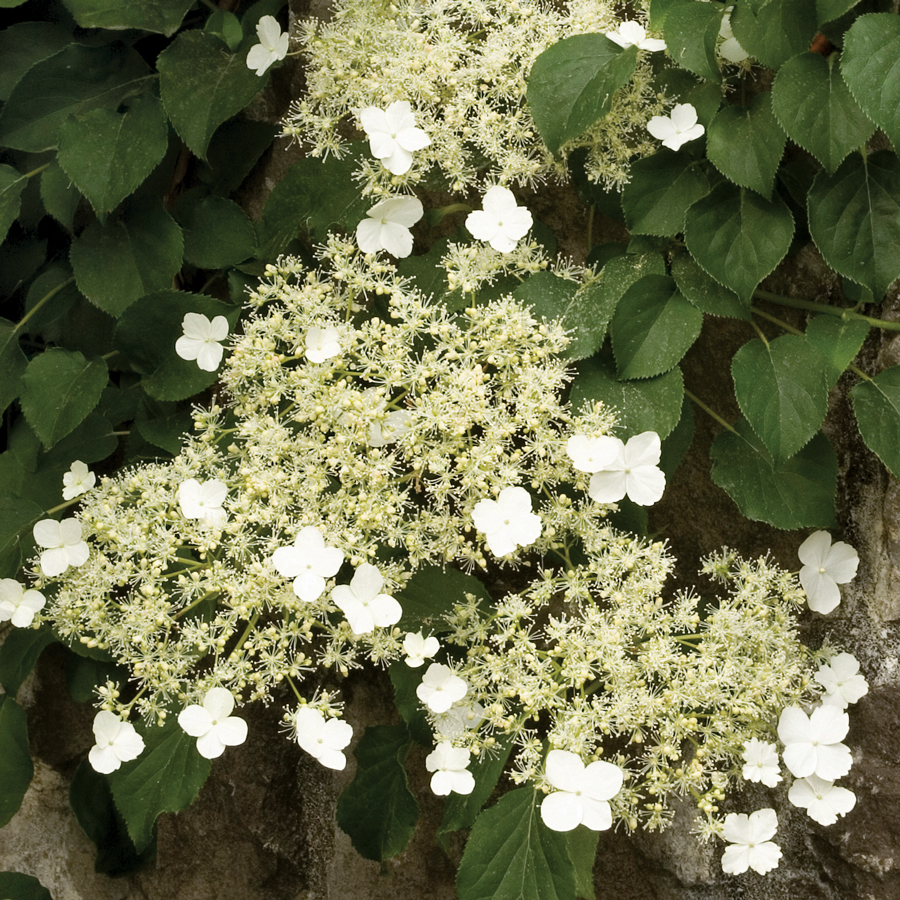 18 Fabulous Flower Vines for Your Arbor, Trellis, or Pergola Climbing Hydrangea #Perennials #Garden #Gardening #Vines #Climbers #Landscape