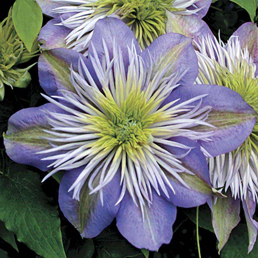 18 Fabulous Flower Vines for Your Arbor, Trellis, or Pergola Crystal Fountain Clematis #Perennials #Garden #Gardening #Vines #Climbers #Landscape