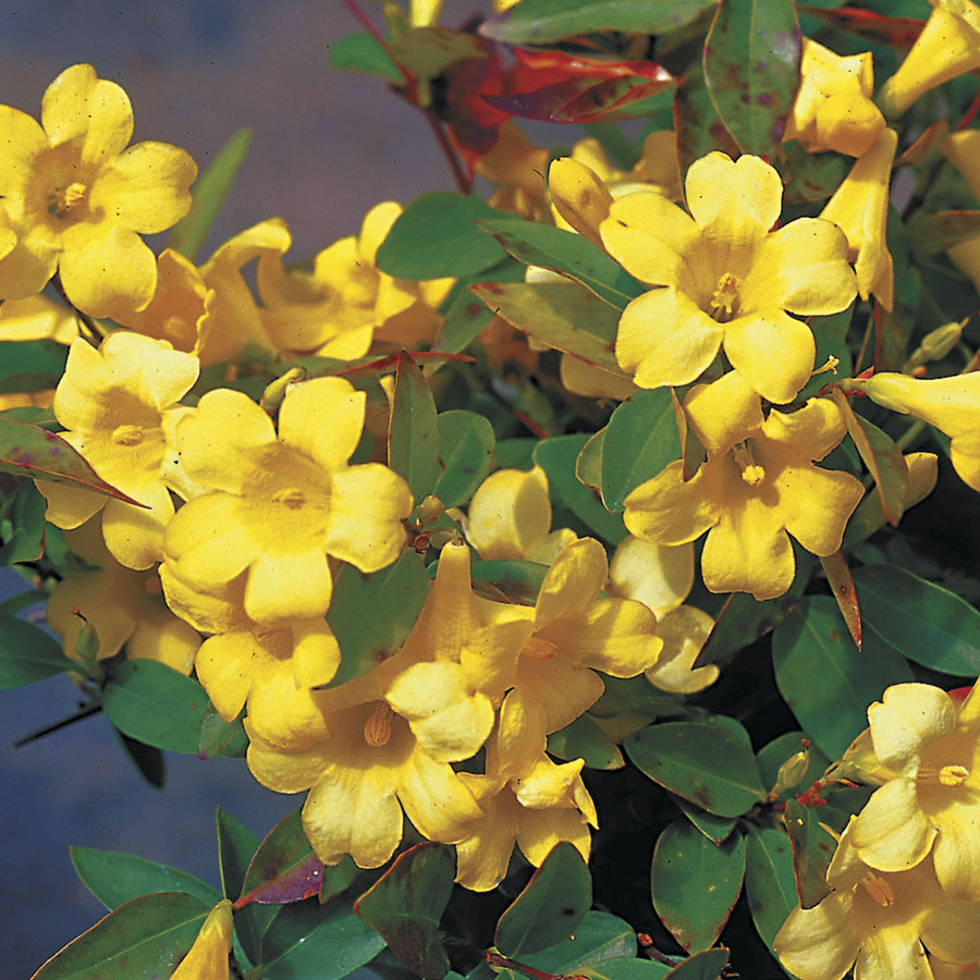 18 Fabulous Flower Vines for Your Arbor, Trellis, or Pergola Margarita Carolina Jessamine #Perennials #Garden #Gardening #Vines #Climbers #Landscape