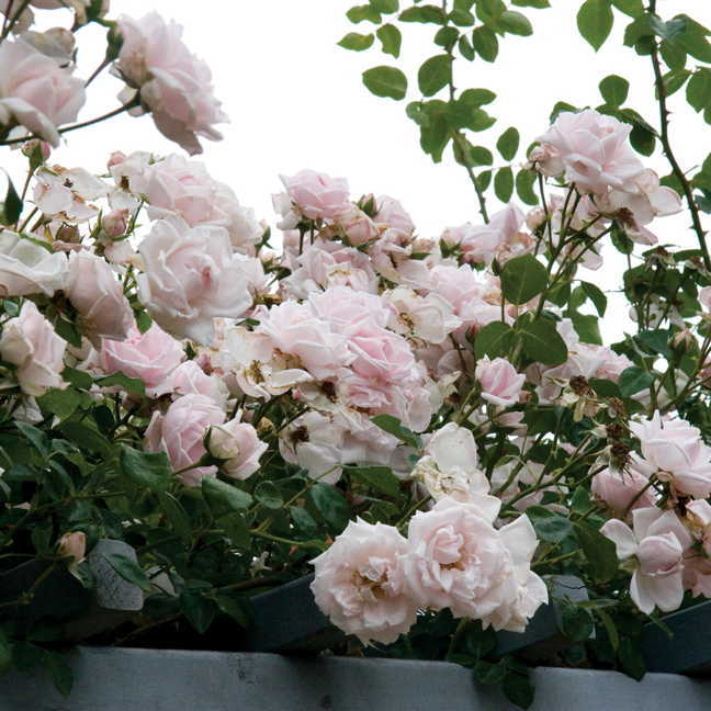 18 Fabulous Flower Vines for Your Arbor, Trellis, or Pergola New Dawn Climbing Rose #Perennials #Garden #Gardening #Vines #Climbers #Landscape
