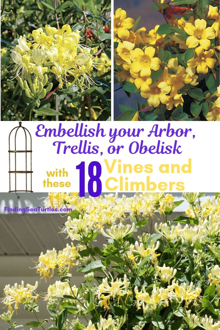 Embellish Your Arbor, Trellis, Or Obelisk With These 18 Vines Climbers #Perennials #Garden #Gardening #Vines #Climbers #Landscape #Trellis #Obelisk #GardenArbor #VerticalGardening